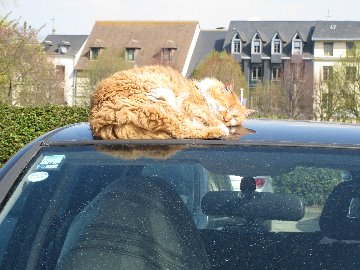 Cat asleep on a car